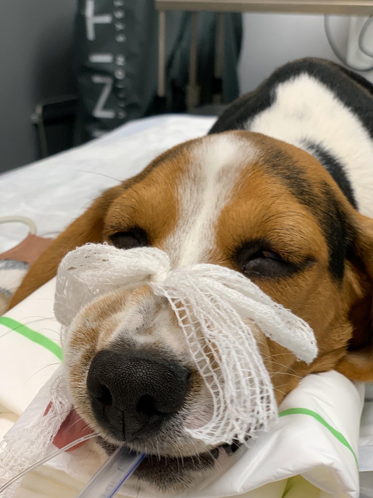 Gaku perro anestesiado